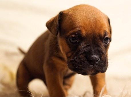 puppy-384647__340