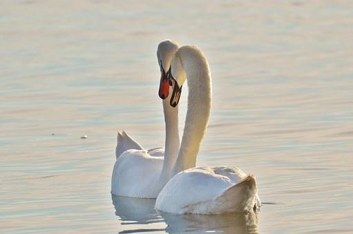 swans-1114845__340