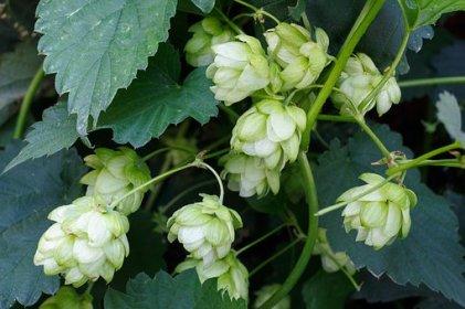 hops-1626608__340