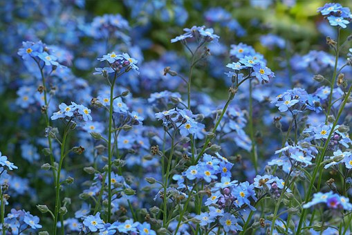 forget-me-not-784028__340