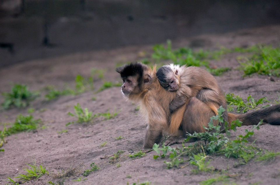 monkey-with-baby-741378_960_720