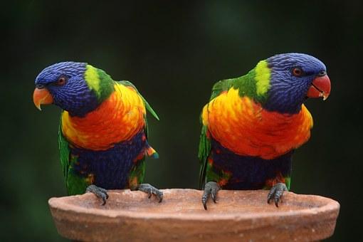 rainbow-lorikeet-686100__340