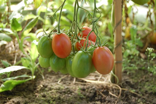 tomatoes-950723__340