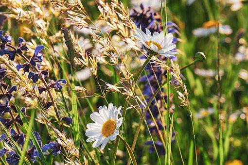 daisies-3430133__340