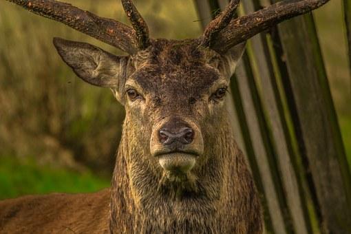 deer-952744__340.jpg